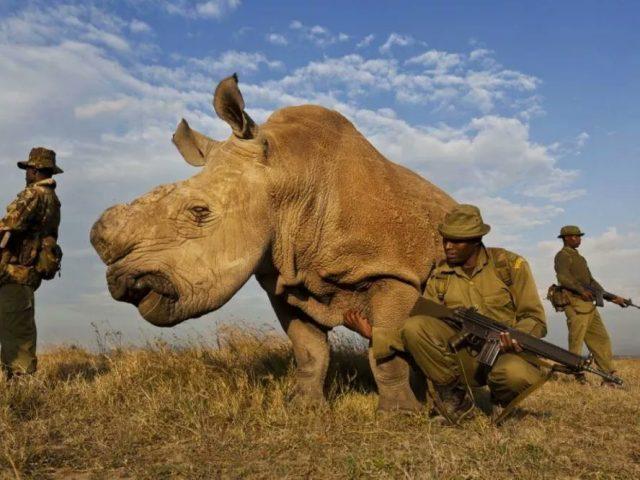مرگ سودان آخرین کرگدن نر سفید
