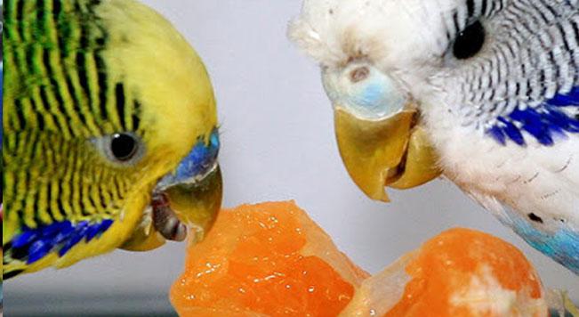 روشهای نگهداری و تغذیه مرغ عشق