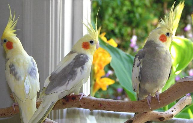 پرندگان زینتی عروس هلندی Cockatiel