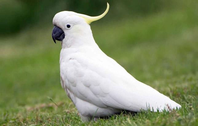 پرندگان زینتی کاکاتو Cockatoo