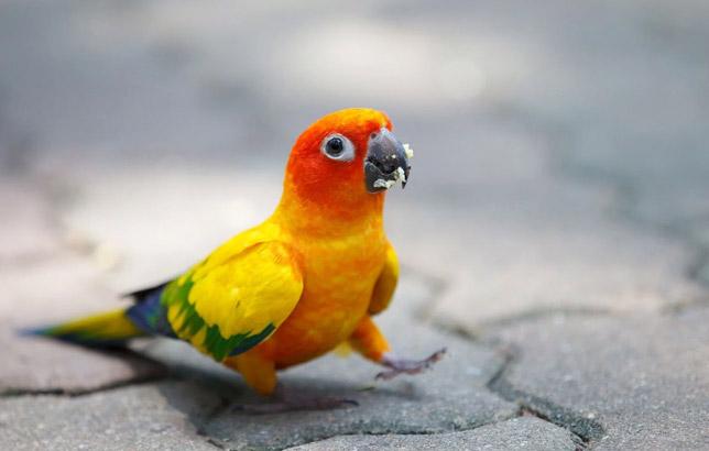 پرندگان زینتی طوطی خورشیدی Conure