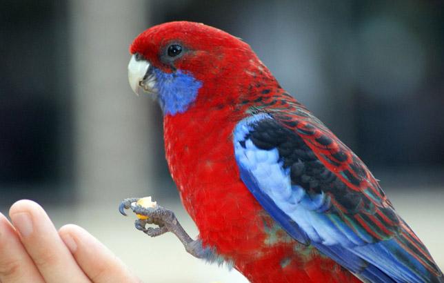 پرندگان زینتی Rosella