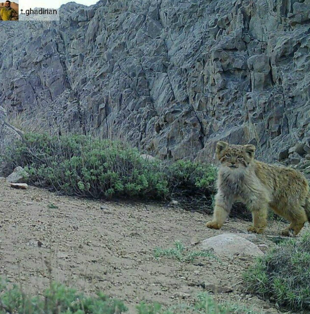 گربه پالاس در ایران