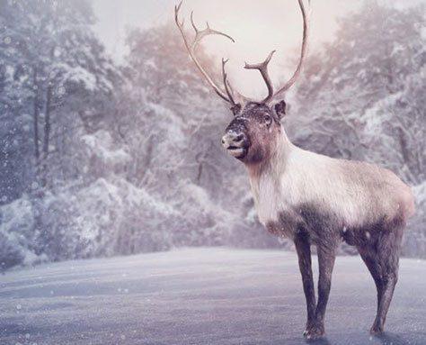 زندگی گوزن شمالی در برف و زمستان