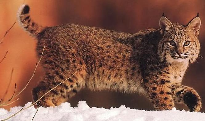 زندگی گربه کانادایی در برف و سرما