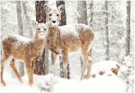 زندگی گوزن ها در برف و سرمای زمستان