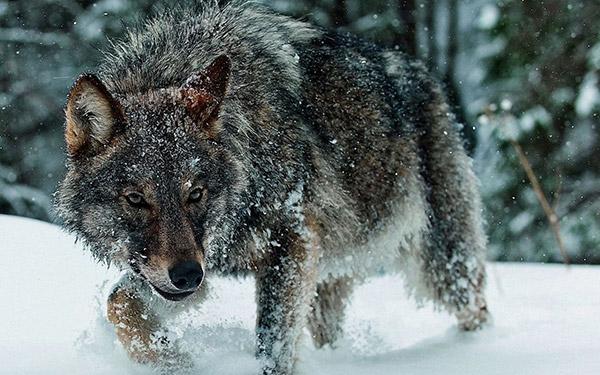 زندگی گرگ ها در سرما و زمستان