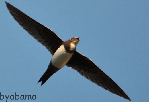 سریعترین پرنده