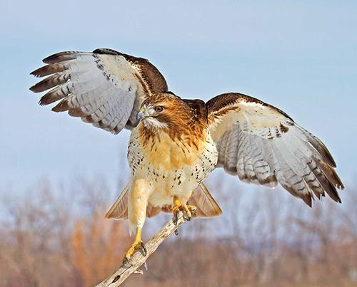 5 پرنده خطرناک دنیا شاهین دم قرمز