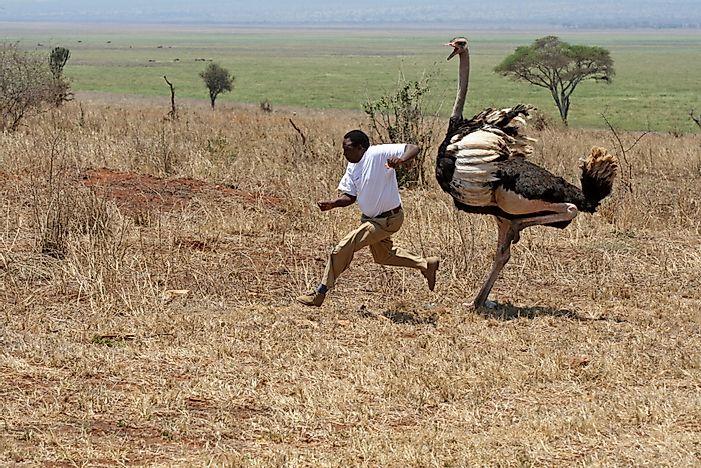 5 پرنده خطرناک دنیا شترمرغ