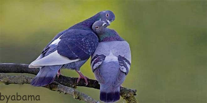 اهلی کردن کبوتر