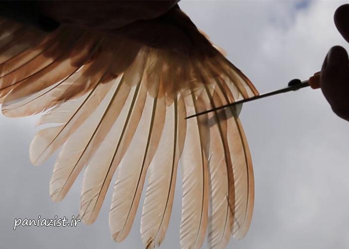 چیدن پرهای پرندگان