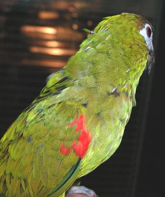 پرریزی یا تولک رفتن پرندگان