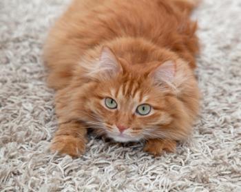 راه رفتن گربه روی فرش خانه