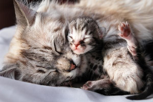 چرا گربه مادر بچه ها را لیس می زند؟