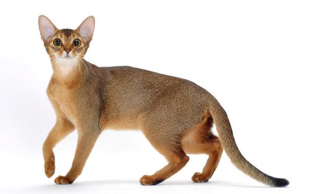 نژاد گربه حبشی