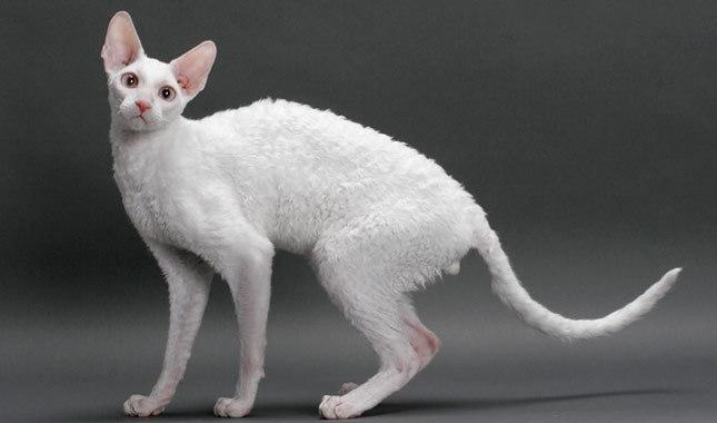 نژاد گربه کورنیش رکس