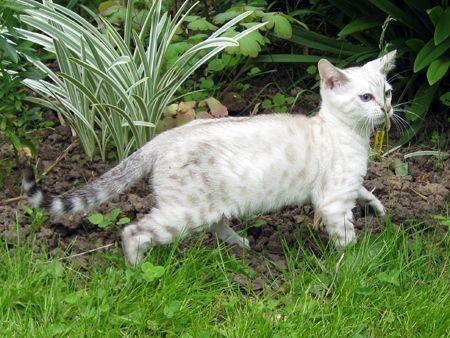 گربه بنگال در حیاط خانه