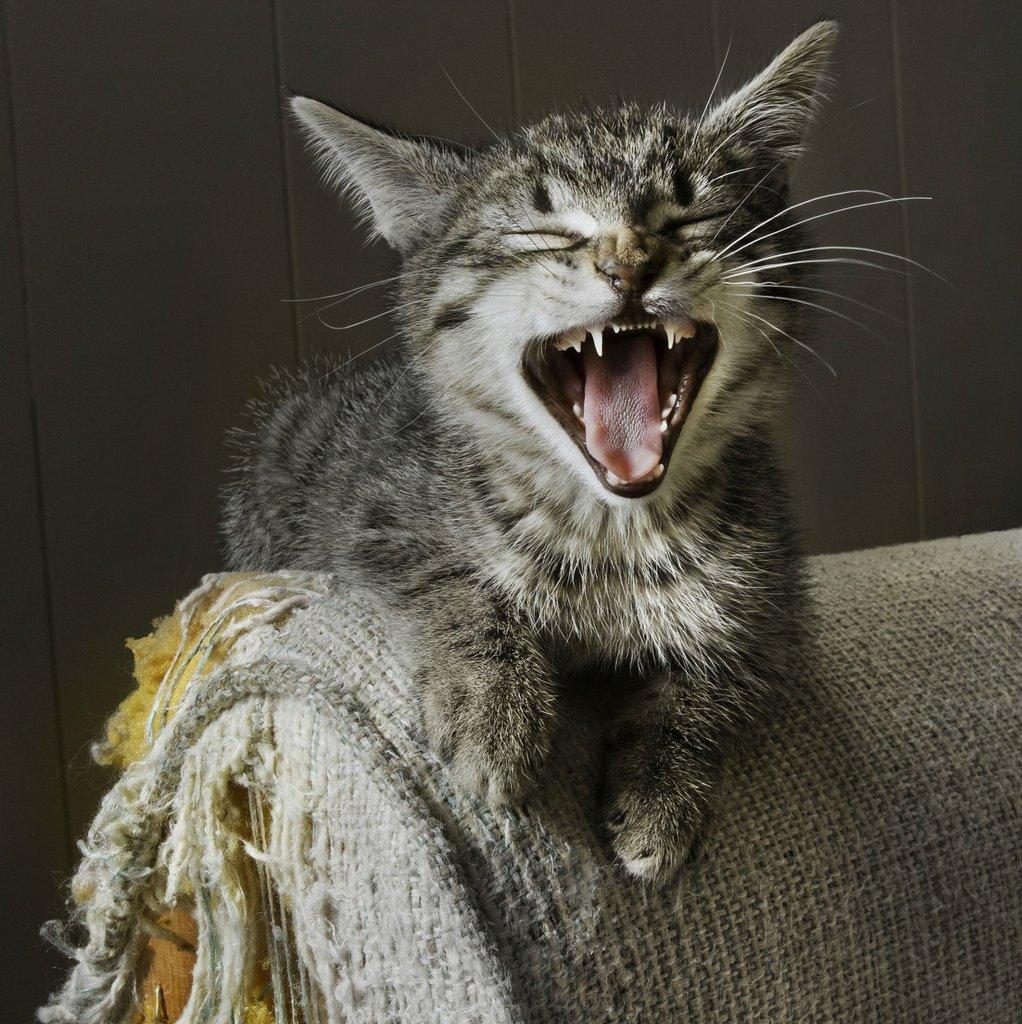 چکار کنیم گربه مبل ها را خراب نکند؟