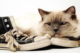 چرا گربه ها بند کفش دوست دارند؟