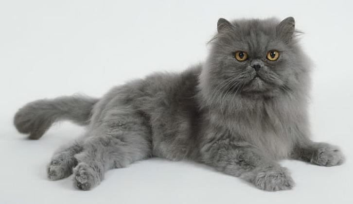 پرشین کت گربه ایرانی