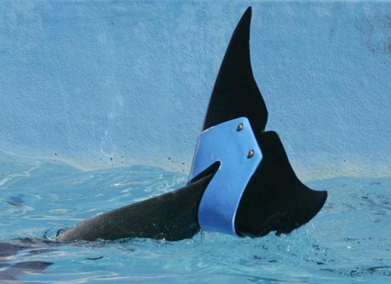باله مصنوعی برای دلفین
