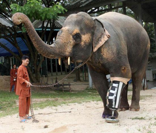 دست مصنوعی برای فیل