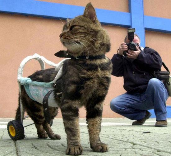 دست و پای مصنوعی برای گربه