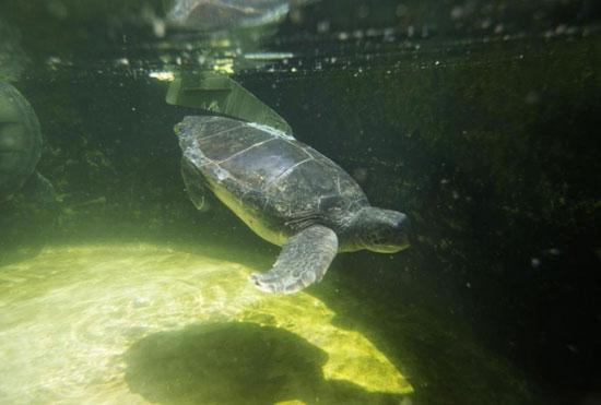 لاکپشت با باله مصنوعی