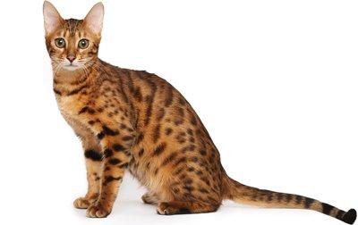 انواع نژادهای گربه