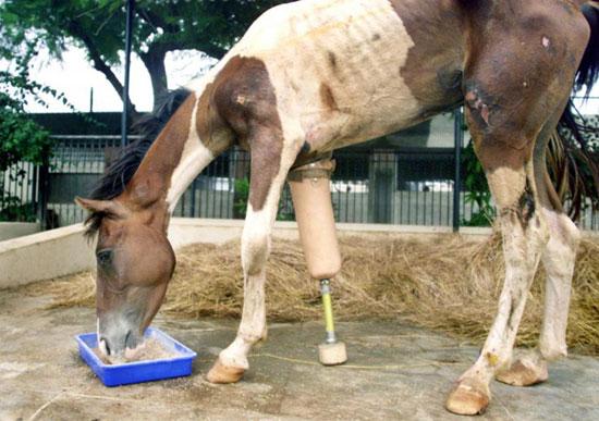 پای مصنوعی برای اسب