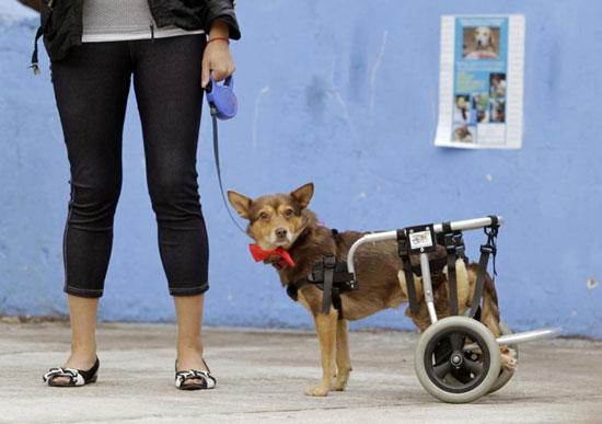 پروتز برای سگ های معلول