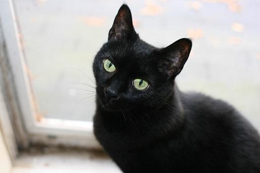 بلک کت گربه مشکی