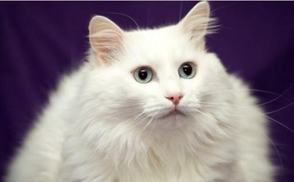 نژاد گربه آنقوره آنگورا