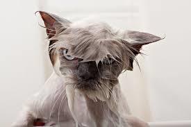 چرا گربه از اینکه خیس شود بدش می آید؟