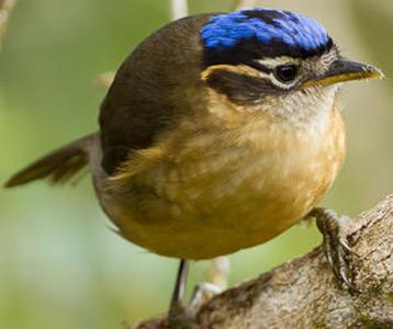 ده پرنده خطرناک عفریته کلاه آبی Blue-Capped Ifrita