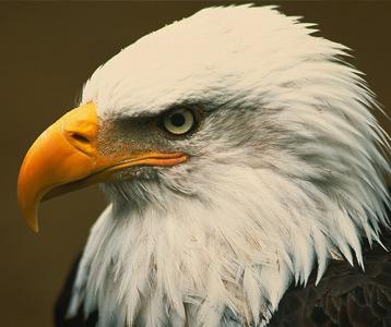 ده پرنده خطرناک خطرناک عقاب