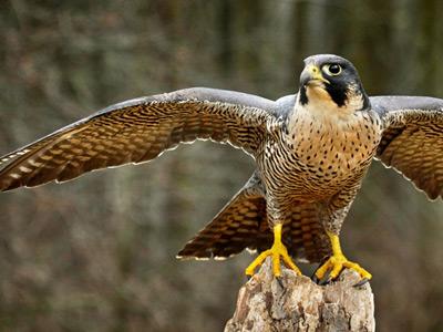 ده پرنده خطرناک فالکون Falcon