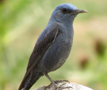 ده پرنده خطرناک باسترک (طرقه) Little Shrikethrush