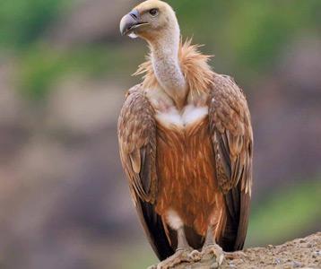 ده پرنده خطرناک کرکس Vulture