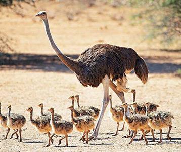 ده پرنده خطرناک شترمرغ ostrich