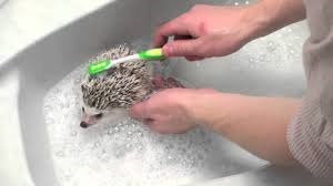 شستن جوجه تیغی