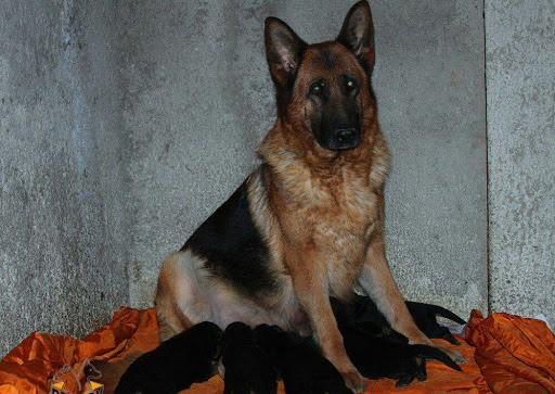 زایمان در سگ ها