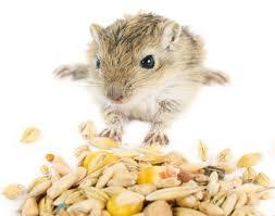 غذا و تغذیه جربیل موش صحرایی