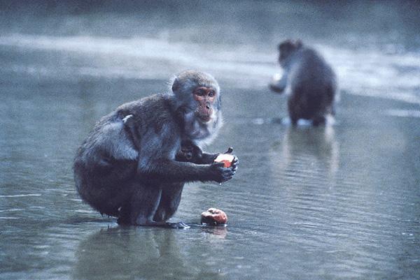 macaque_potato