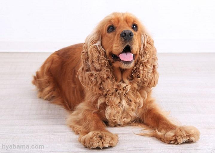 نژاد سگ کوکر اسپانیل
