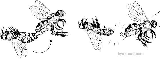 جفتگیری زنبور عسل