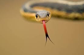 چرا زبان مار ها دوشاخه است؟