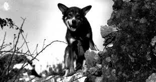 چیپس سگ ارتش سگ نظامی