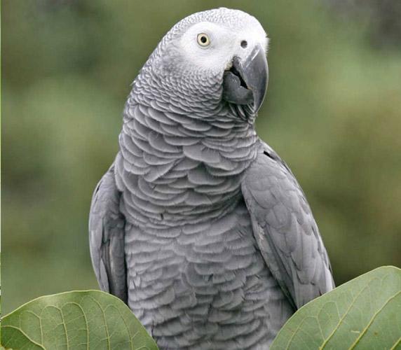 پرندگان زینتی کاسکو